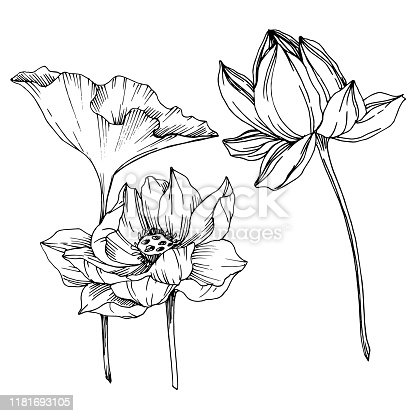 Vector Lotus floral botanical flowers. Wild spring leaf wildflower isolated. Black and white engraved ink art. Isolated lotus illustration element on white background.