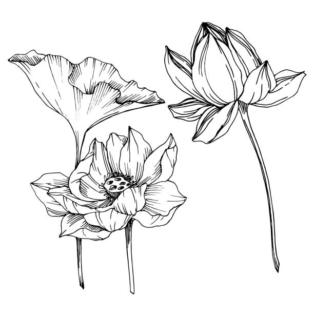 Vector Lotus floral botanical flowers. Black and white engraved ink art. Isolated lotus illustration element. Vector Lotus floral botanical flowers. Wild spring leaf wildflower isolated. Black and white engraved ink art. Isolated lotus illustration element on white background. close up stock illustrations