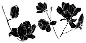 Vector Magnolia floral botanical flowers. Wild spring leaf wildflower isolated. Black and white engraved ink art. Isolated magnolia illustration element.