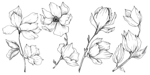 Vector Magnolia floral botanical flowers. Black and white engraved ink art. Isolated magnolia illustration element. Vector Magnolia floral botanical flowers. Wild spring leaf wildflower isolated. Black and white engraved ink art. Isolated magnolia illustration element. autumn silhouettes stock illustrations