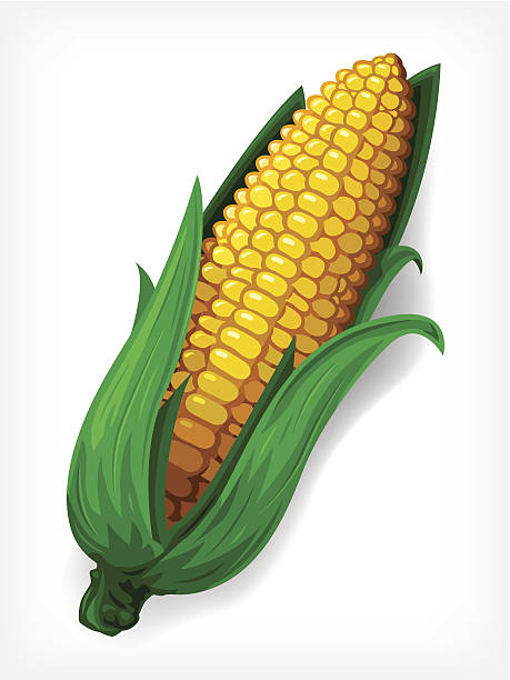 Vector Maize vector art illustration