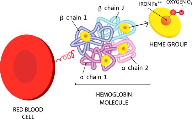 vector Medical icon erythrocyte red blood cell. hemoglobin molecule vector Medical icon erythrocyte red blood cell. hemoglobin molecule. Image red blood cell structure. Illustration flat style hemoglobin stock illustrations