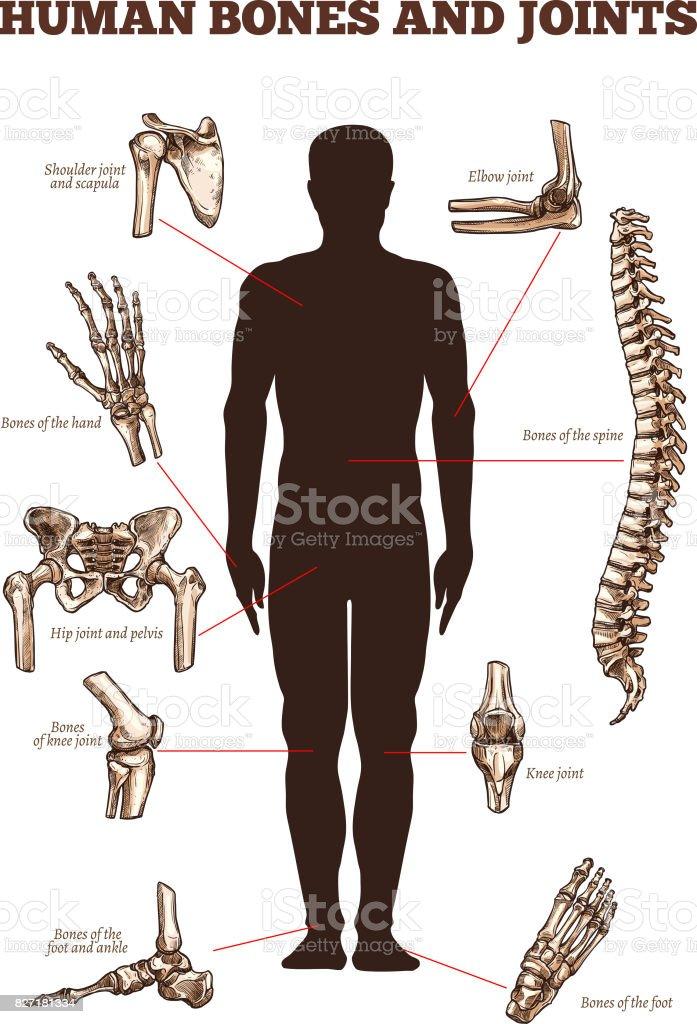 Vector medical vector poster of human bones joints vector art illustration
