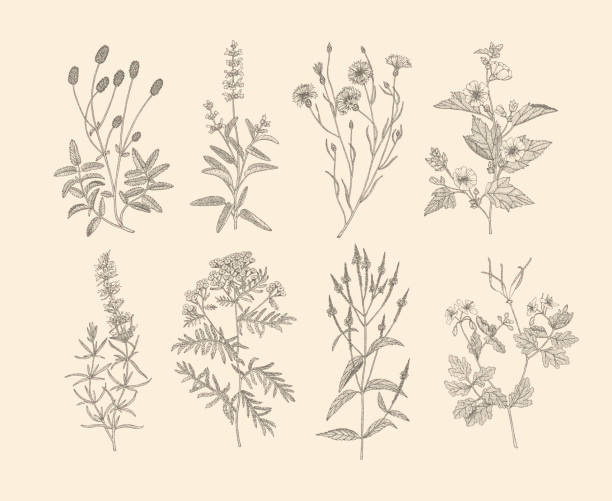 vector medicinal herbs. - wildflowers stock illustrations, clip art, cartoons, & icons