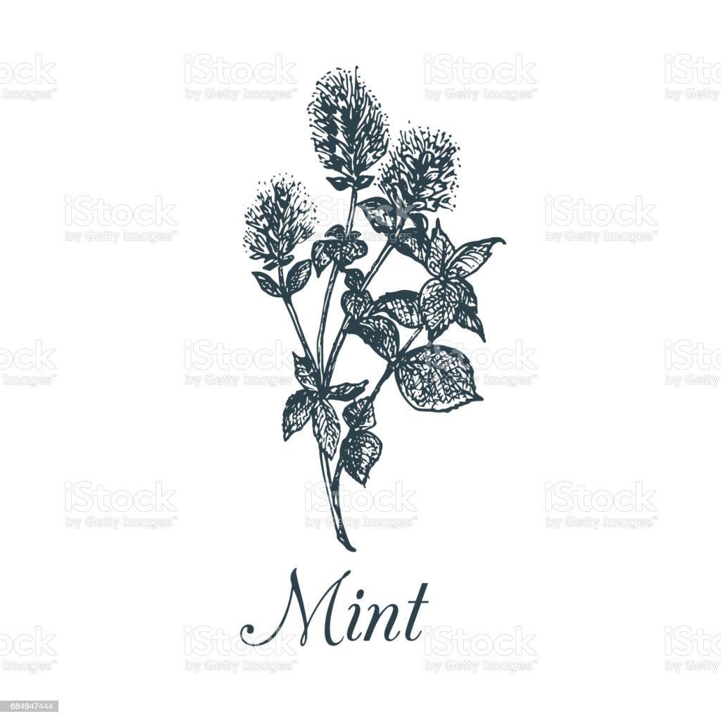 Vector mint illustration. Hand drawn aromatic plant sketch. Culinary herb illustration. Botanical drawing in engraving style. vector art illustration
