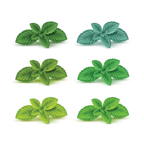 Vector Mint Spearmint Peppermint Leaf Leaves Set Isolated Vector Mint Spearmint Peppermint Leaf Leaves Set Isolated  mint leaf culinary stock illustrations