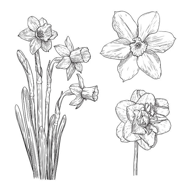 Vector narcissus. Vector narcissus in vintage engraving style. daffodil stock illustrations