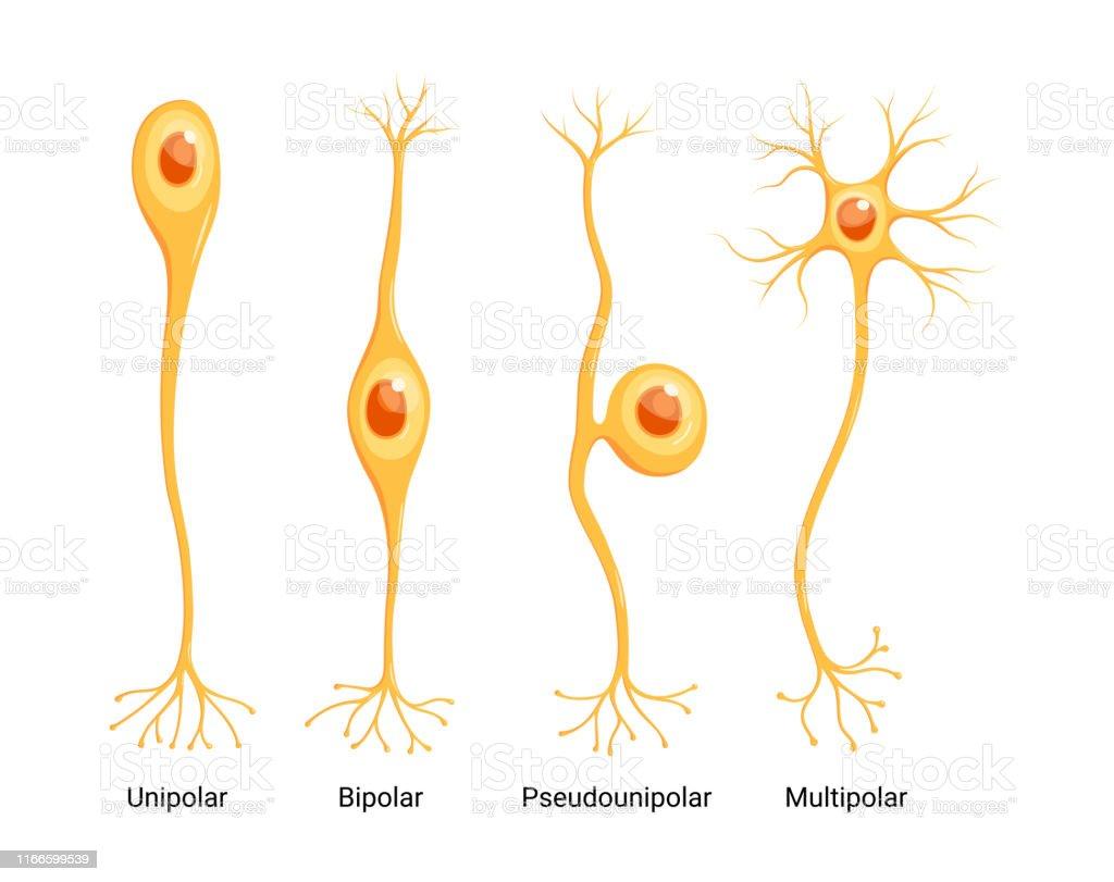 Vector Neuron Types isolated on white background Vector Neuron Types isolated on white background Anatomy stock vector