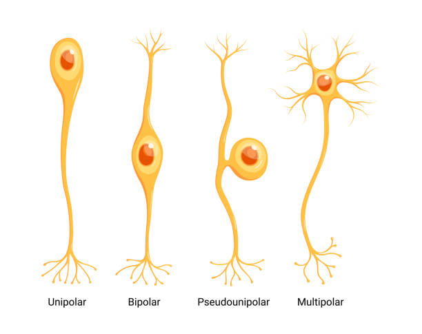 Vector Neuron Types isolated on white background Vector Neuron Types isolated on white background neurons stock illustrations