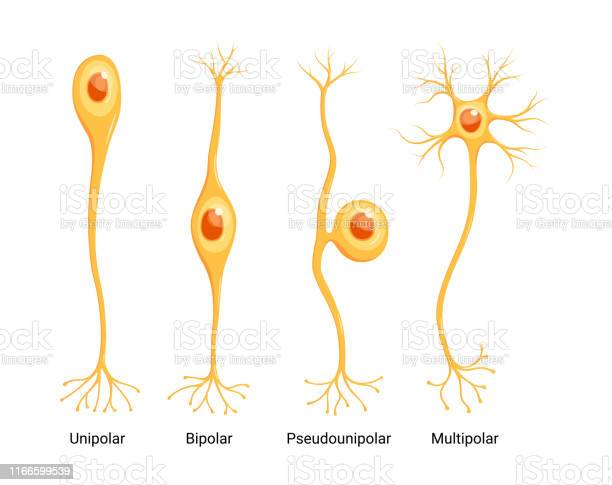Vector Neuron Types Isolated On White Background Stock Illustration - Download Image Now