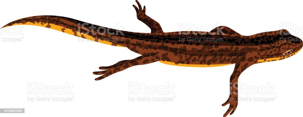 royalty free great crested newt clip art vector images rh istockphoto com newt clipart black and white newt clipart black and white