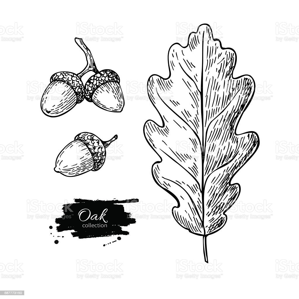 Vector oak leaf and acorn drawing set. Autumn elements. - ilustración de arte vectorial