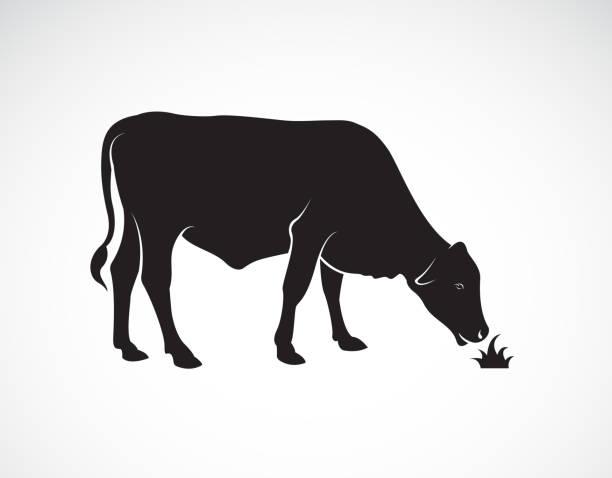 ilustrações de stock, clip art, desenhos animados e ícones de vector of a  cow is eating grass on white background. farm animals. easy editable layered vector illustration. - beef angus