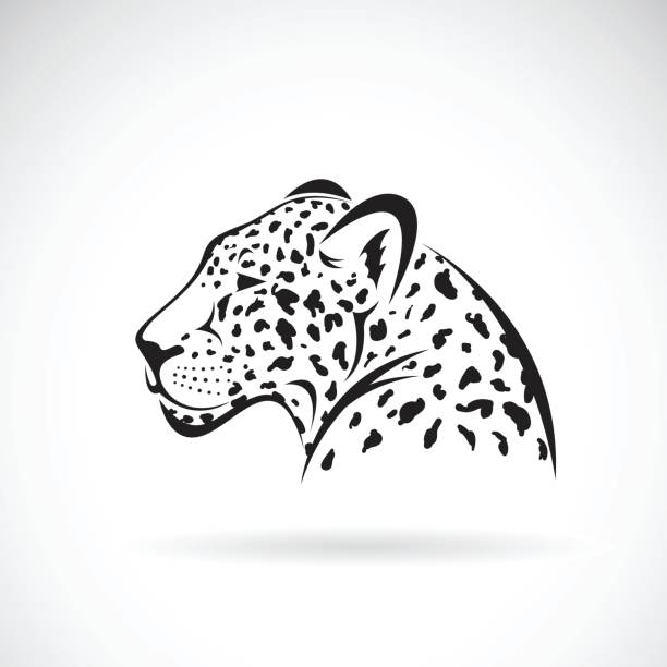 vector of a leopard on white background. wild animals. - jaguar stock illustrations