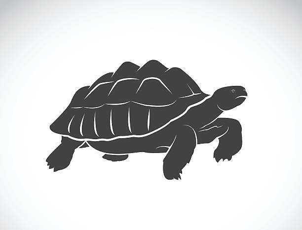 Vector of a turtle on white background. Reptile. Wild Animals. Vector of a turtle on white background. Reptile. Wild Animals. (Geochelone sulcata) caenorhabditis elegans stock illustrations