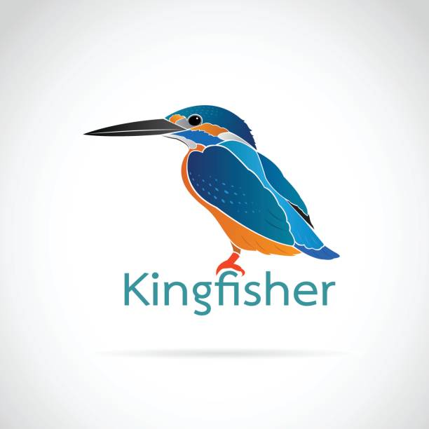 Vector of Common kingfisher (Alcedo atthis) on white background. Bird Design. Vector of Common kingfisher (Alcedo atthis) on white background. Bird Design. kingfisher stock illustrations