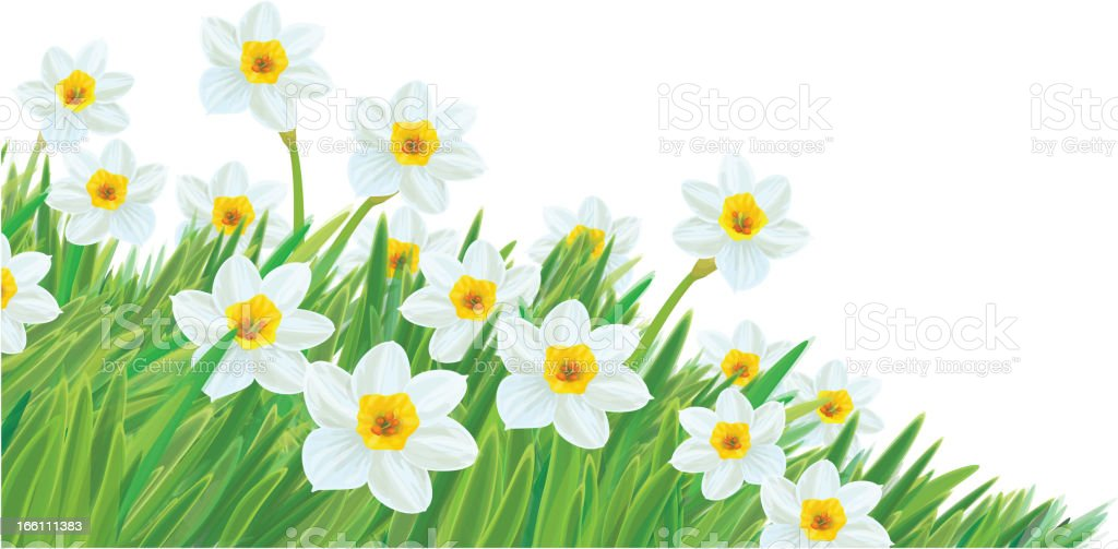 Vector of daffodil flowers in grass. royalty-free vector of daffodil flowers in grass stock vector art & more images of beauty in nature