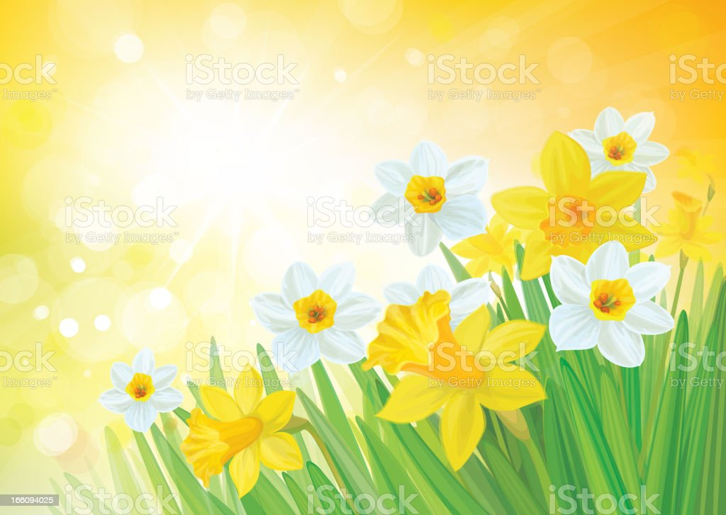 Vector of daffodil flowers on spring background. royalty-free vector of daffodil flowers on spring background stock vector art & more images of beauty in nature