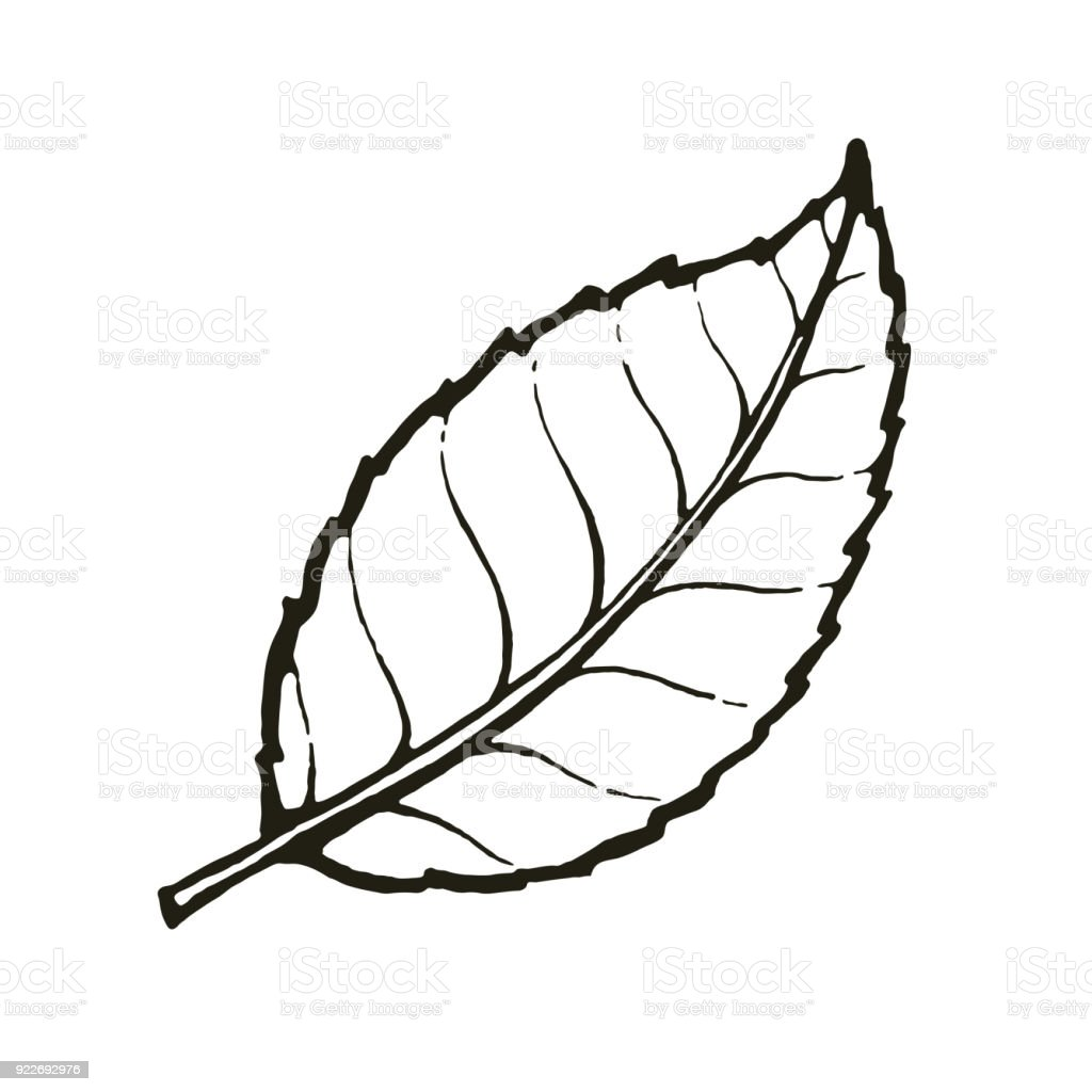 Vector Of One Leaf Tea Or Mint Royalty Free