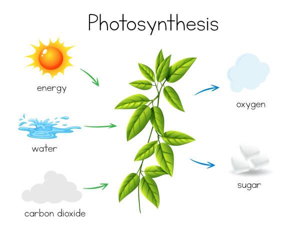 ein vektor der pflanzlichen photosynthese - stoffwechsel stock-grafiken, -clipart, -cartoons und -symbole