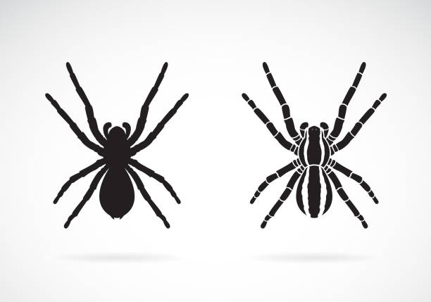 vector of spider on white background. insect. animal. easy editable layered vector illustration. - tarantula stock illustrations