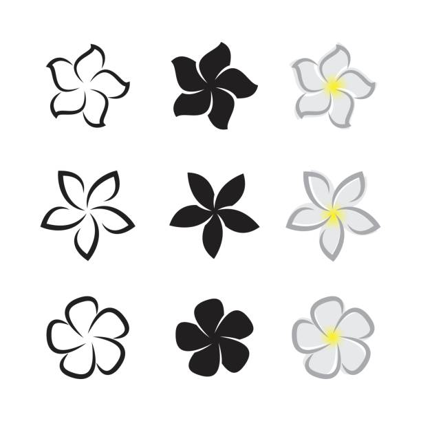 Vector of tropical flowers frangipani (plumeria) on white background. Vector of tropical flowers frangipani (plumeria) on white background. frangipani stock illustrations
