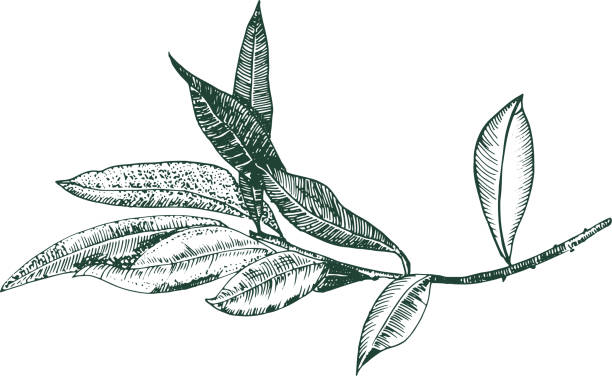 ilustrações de stock, clip art, desenhos animados e ícones de vector olive branch drawing, engraving style, isolated on a white background, a hand drawn sketch - mediterranean food