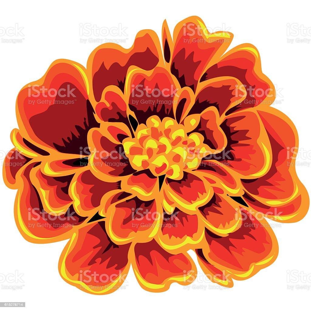 royalty free marigold clip art vector images illustrations istock rh istockphoto com Marigold Flowers Orange Marigold Clip Art