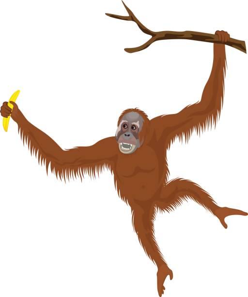 vector orangutan vector orangutan female animal stock illustrations