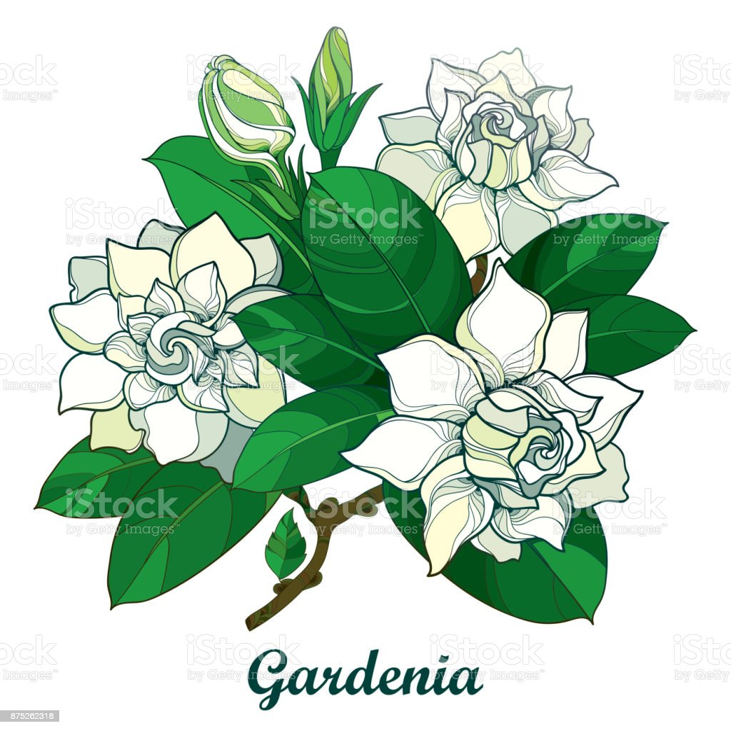 Vector outline gardenia flower bouquet bud and ornate green leaves vector outline gardenia flower bouquet bud and ornate green leaves isolated on white background izmirmasajfo