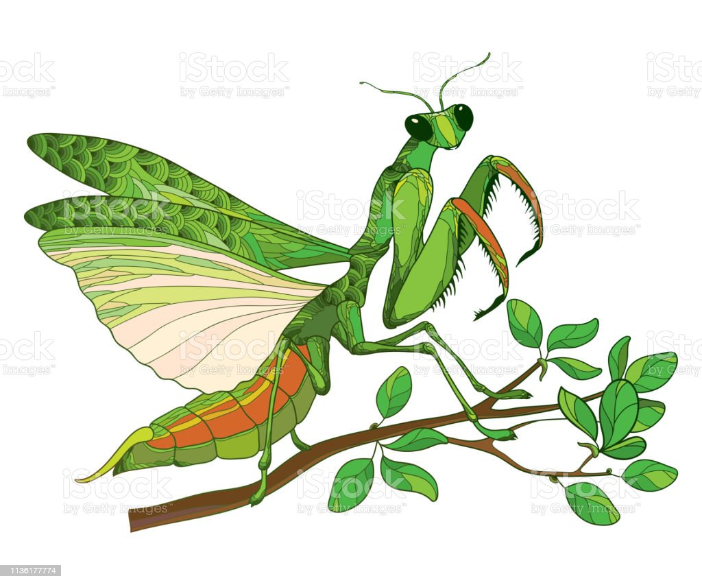 Vector Outline Mantis Religiosa Or Praying Mantis In Green Sitting