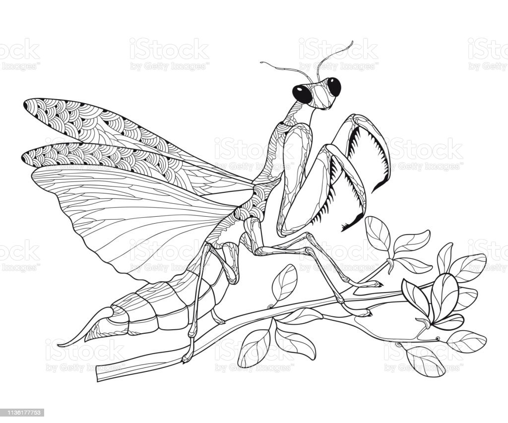Vector Outline Mantis Religiosa Or Praying Mantis On The Branch In