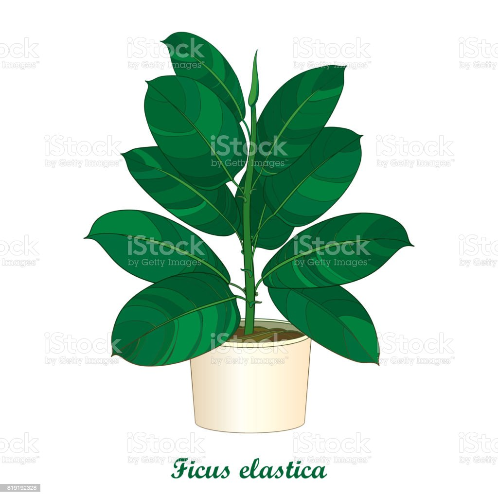 Vector Outline Ornamental Houseplant Ficus Elastic Or Rubber Plant ...