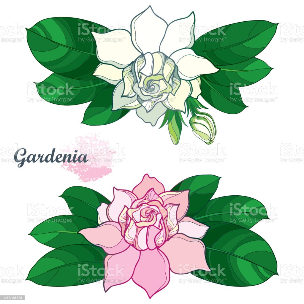 Vector Outline Pink And White Gardenia Flower Bunch Bud And Ornate