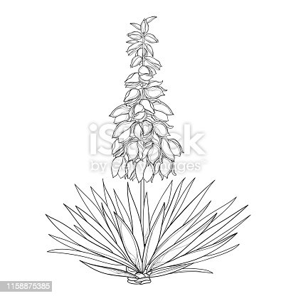 Vector outline Yucca filamentosa or Adam's needle flower bunch, ornate bud and leaf in black isolated on white background. Ornamental contour plant Yucca for summer design or coloring book.