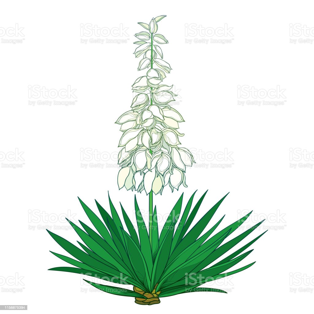 Vector Outline Yucca Filamentosa Or Adams Needle Flower Bunch Ornate Pastel Bud And Green Leaf Isolated On White Background Stock Illustration Download Image Now Istock