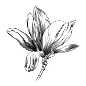 Vector Pen and Ink Drawing of a Magnolia Flower