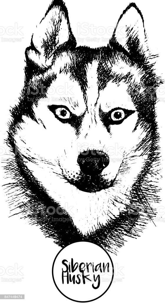 vector portrait of siberian husky isolated on white background