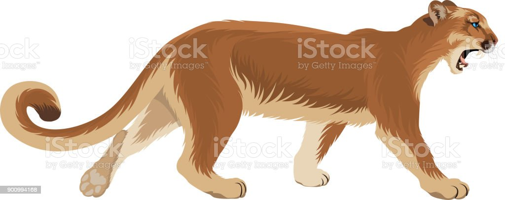 vector puma cougar (Puma concolor) or  mountain lion vector art illustration