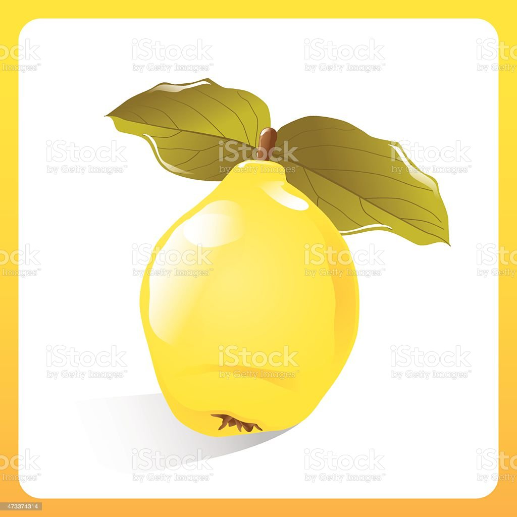 Vector quince vector art illustration