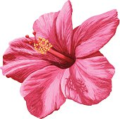 Vector Illustration. Realistic pink hibiscus flower created using Adobe Ideas for the iPad, isolated on white background.