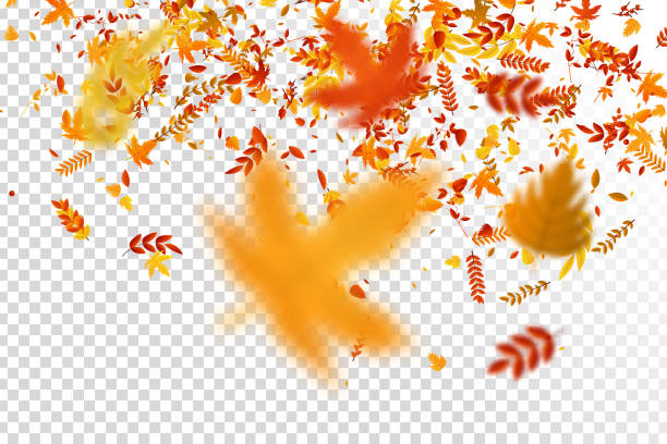 Vector realistic isolated red, yellow and orange maple and oak falling leaves confetti for decoration and covering on the transparent background. Concept of Happy Autumn. Vector realistic isolated red, yellow and orange maple and oak falling leaves confetti for decoration and covering on the transparent background. Concept of Happy Autumn. autumn leaf color stock illustrations