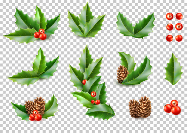 Vector realistic merry christmas holly leaves fir Holly leaves with berries, pine cone realistic set on transparent background. Merry christmas, happy new year holidays poster, banner, invitation card design. Vector ilex, mistletoe and spruce tree cones berry fruit stock illustrations