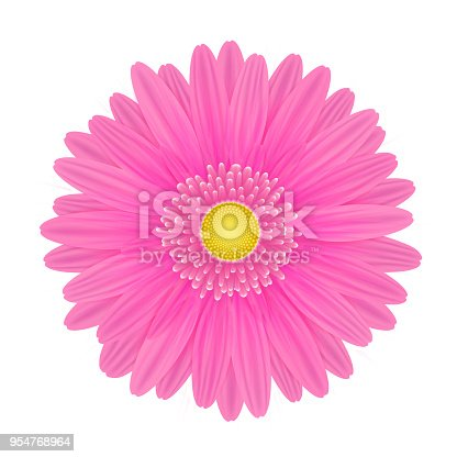 Vector realistic image of a pink gerbera flower. Gerbera with pink petals and yellow center. Picture for botany, biology, floristics. Vector EPS 10 illustration.