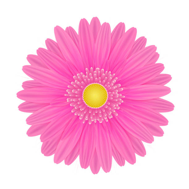 stockillustraties, clipart, cartoons en iconen met vector realistische roze gerbera bloem. - enkele bloem
