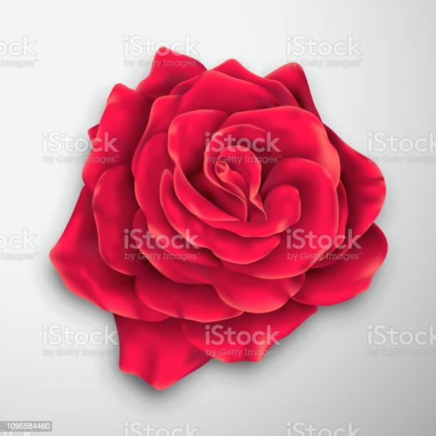 Vector realistic rose blossom vector id1095584460?b=1&k=6&m=1095584460&s=612x612&h=xavixz81ipafe5k2pgcwnbyowxdczjcwzuhodncvg3a=