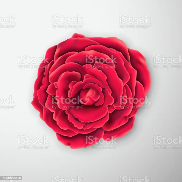 Vector realistic rose blossom vector id1095584516?b=1&k=6&m=1095584516&s=612x612&h=qr4m5hgxb7kc9odhmrfvslvpuv1rlrhgc7kccfmj4x8=