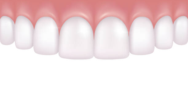 illustrazioni stock, clip art, cartoni animati e icone di tendenza di vector realistic row of white and atraight upper teeth - dentistry medical model - denti