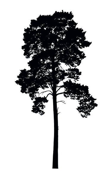 Vector realistic silhouette of coniferous tree isolated on white background Vector realistic silhouette of coniferous tree isolated on white background redwood tree stock illustrations