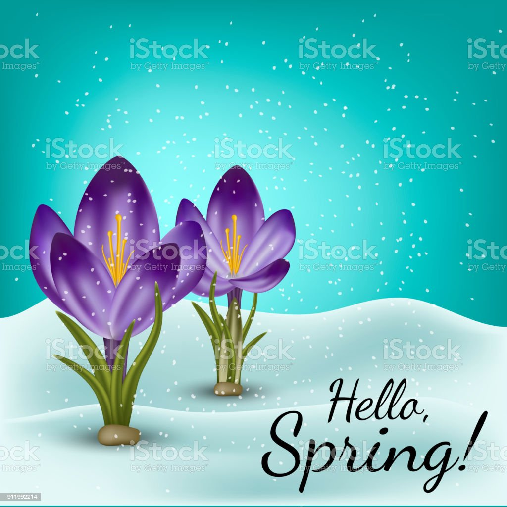 Vector realistic spring flower crocus in a snowdrift. Use for postcards, banners, backgrounds. Gradient mesh tool.